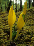Skunk Cabbage Grows Out of Bed of Spagnum Moss in Alaska's Rainforest Photographic Print by Michael S. Quinton