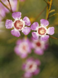 The Delicate Pink Petals of the Geraldton Wax Flower, Australia Photographic Print by Jason Edwards