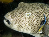 Star Puffer Fish Being Cleaned by a Cleaner Wrasse, Malapascua Island, Philippines Photographic Print by Tim Laman