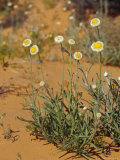 The Poached Egg Daisy Emerges from Red Desert Sands, Australia Photographic Print by Jason Edwards