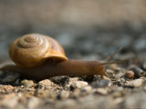 Snail on a Gravel Path at the Sunset Zoo Photographic Print by Joel Sartore