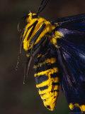 The Bright Yellow and Black Warning Colours of a Day Moth, Australia Photographic Print by Jason Edwards