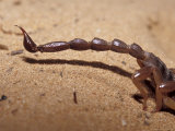 Venomous Pointed Scorpion Tail Sting, Abdomen and Hind Legs, Australia Photographic Print by Jason Edwards