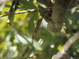 The Tail of a Ratsnake Disappears as It Climbs into a Forest Canopy Photographic Print by Jason Edwards