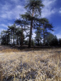Snow Covered Grass Meadow and Pines on Mount Pinos, California Photographic Print by Rich Reid
