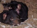 Tasmanian Devils Rest in a Hollow Log with Feathers Left from a Meal, Australia Photographie par Jason Edwards