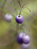 The Aubergine Fruit of the Tasman Flax Lilly, Dianella Tasmanica, Australia Photographic Print by Jason Edwards