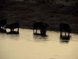 Silhouettes of Cape Buffalo Drink at a Waterhole Reflecting the Sunset Photographic Print by Jason Edwards