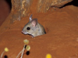 Spinifex Hopping Mouse Peaking Cautiously from its Burrow Entrance, Australia Photographic Print by Jason Edwards