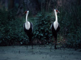 Two Wattled Cranes Standing in a Marshy Habitat Photographic Print by Ira Block