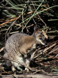 Tammar Wallaby with Ears Alert Browsing for Food Among the Grasses, Australia Photographic Print by Jason Edwards