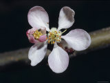 The Dainty Pale Pink Blossom Flower of a Royal Gala Apple Tree, North Carlton, Australia Photographic Print by Jason Edwards