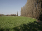 Tall Trees in a Field, Bologna, Italy Photographic Print by Gina Martin