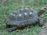 Tortoise at the Lincoln Children's Zoo, Nebraska Photographic Print by Joel Sartore