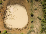Shallow Isolated Waterhole with Cows, Tanga Province, Tanzania Photographic Print by Michael Fay