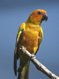 Sun Conure Parrot at the Sedgwick County Zoo, Kansas Photographic Print by Joel Sartore