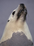 Sea Lion, Seal Bay Kangaroo Island, South Australia Photographic Print by Jason Edwards