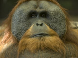 Sumatran Orangutan at the Sedgwick County Zoo, Kansas Photographic Print by Joel Sartore