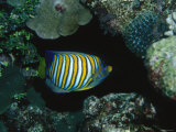 Tropical Regal Angelfish, Pygoplites Diacanthus Photographic Print by James Forte