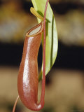 The Tropical Pitcher Plant Nepenthes Alarta Carnivorous Insect Feeder, Australia Photographic Print by Jason Edwards