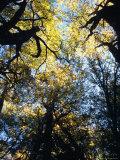 Sunlight Falls Through the Golden Leaves of Decidiuous Beech Trees, Australia Photographic Print by Jason Edwards