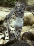 The Appraising Stare of a Majestic Snow Leopard, Alpine Predator, Melbourne Zoo, Australia Photographic Print by Jason Edwards