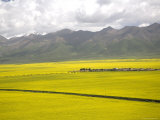 Valley with Vast Fields of Yellow Rape Seed Flowers in Qinhai, China Photographic Print by David Evans