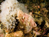 Scorpionfish with Clump of Tunicates, Malapascua Island, Philippines Photographic Print by Tim Laman