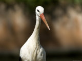 White Stork at the Sedgwick County Zoo, Kansas Photographie par Joel Sartore