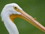 White Pelican at the Sunset Zoo, Kansas Fotografisk tryk af Joel Sartore