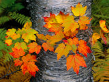 Sugar Maple Leaves Set against the Trunk of a Yellow Birch Tree Impresso fotogrfica por John Eastcott & Yva Momatiuk