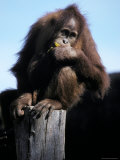 Young Orangutan Perched on a Stump Contentedly Eating a Banana, Melbourne Zoo, Australia Photographic Print by Jason Edwards