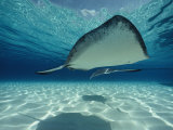 Southern Stingray Photographic Print by Bill Curtsinger