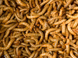 Yellow Mealworms Used as Food at the Zoo, Sunset Zoo, Kansas Photographic Print by Joel Sartore