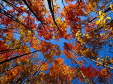 Upward View of a Grove of Sugar Maple Trees Photographic Print by John Eastcott &amp; Yva Momatiuk