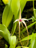 Wild Orchid from Southeast Asia, Singapore Photographic Print by Tim Laman