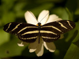 Zebra-Winged Butterfly at the Lincoln Children's Zoo, Nebraska Fotografisk tryk af Joel Sartore