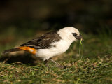 White-Headed Buffalo Weaver Photographic Print by Joel Sartore