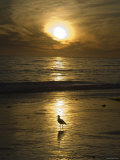 Seagull Silhouette on Beach Golden Light, California Photographic Print by James Forte