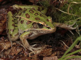 Southern Leopard Frog Pauses in Leaf Litter Photographic Print by George Grall