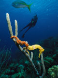 Underwater View of a Diver, Sea Horses, Tropical Fish, and Coral Lámina fotográfica por George Grall