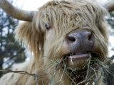 Scottish Highland Bull Fotografisk tryk af Tim Laman