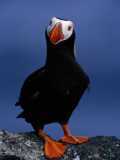 Tufted Puffin, Photographed During Breeding Season, Alaska Photographic Print by John Eastcott & Yva Momatiuk