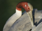 Sarus Crane at the International Crane Foundation, Baraboo, Wisconsin Photographic Print by Joel Sartore