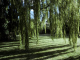 Weeping Willow Casts Long, Cool Shadows Onto a Garden Lawn, Australia Photographic Print by Jason Edwards