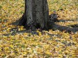 Yellow Maple Leaves Surround a Big Tree Trunk in Central Park Photographic Print by Stacy Gold