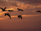 Silhouette of a Group of Pelicans Flying Along the Coast at Sunset, Baja, Mexico Photographic Print by Kate Thompson