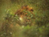 Wild African Lion in the Masai Mara National Reserve in Kenya Photographic Print by Bobby Model