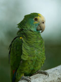 Yellow-Shouldered Amazon Parrot at the Zoo Photographic Print by Joel Sartore