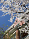 Springtime Flowering Tree against Old Brick Home and Blue Sky Fotografisk tryk af David Evans
